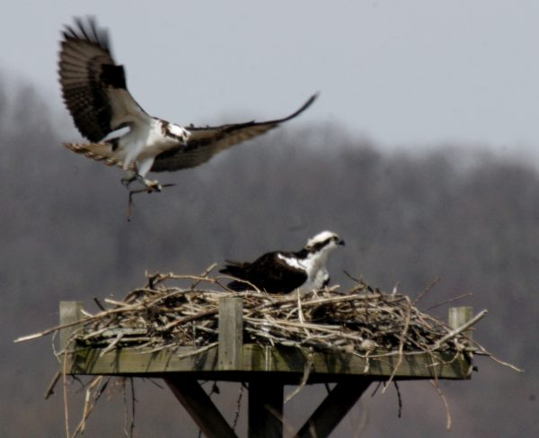 Apr – Spring Osprey / Eagle Cruise