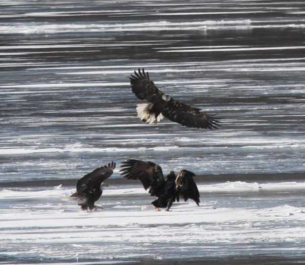 Feb/Mar – Winter Wildlife Eagle Cruises