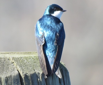 Aug/Sep – Tree Swallow Sunset Cruise